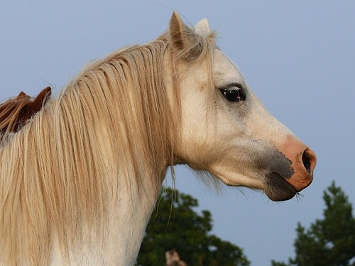 Klisna welsh mountain pony